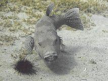 Stellate stellatus Arothron ψαριών καπνιστών, επίσης γνωστό ως sta Στοκ φωτογραφία με δικαίωμα ελεύθερης χρήσης