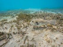 Stellate stellatus Arothron ψαριών καπνιστών Στοκ Φωτογραφία