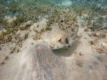 Stellate stellatus Arothron ψαριών καπνιστών Στοκ φωτογραφίες με δικαίωμα ελεύθερης χρήσης