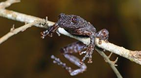 Stellatum Theloderma древесной лягушки ` s Тейлора Warted, красивая лягушка, лягушка на утесах с мхом Стоковое Изображение