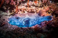 Stellatus Arothron - Stellate καπνιστής Maldivian ακτή Στοκ Φωτογραφία