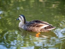 Stelle berechnete Ente auf einem ruhigen Fluss 2 lizenzfreie stockbilder