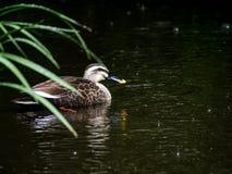 Stelle berechnete Ente im Regen 3 stockfotos