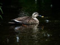 Stelle berechnete Ente im Regen 4 stockfoto