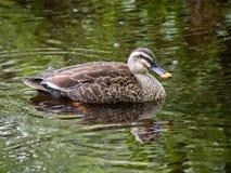 Stelle berechnete Ente im Regen 8 lizenzfreie stockbilder