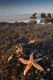 Stelle marine Fotografie Stock