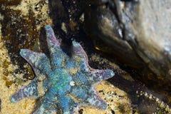 Stelle marine in acqua Immagini Stock Libere da Diritti