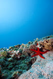 Stelle marine in acqua aperta Fotografia Stock Libera da Diritti