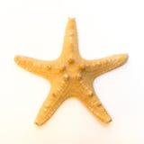 Stelle marine (asterias rubens) dal Mare del Nord isolato davanti a fondo bianco Fotografie Stock Libere da Diritti