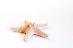 Stelle marine (asterias rubens) dal Mare del Nord isolato davanti a fondo bianco Immagine Stock Libera da Diritti