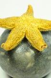 Stelle marine - Asteroidea fotografia stock libera da diritti