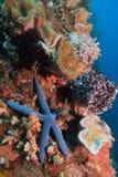 Stelle marine blu Fotografie Stock