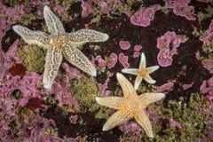 Stelle marine comuni subacquee nel golfo di St Lawrence fotografie stock