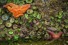 Stelle marine, costa Tidepools dell'Oregon Immagini Stock