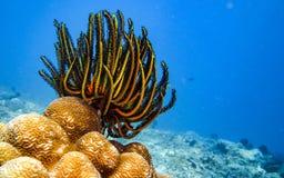 Stelle marine della piuma Fotografia Stock Libera da Diritti