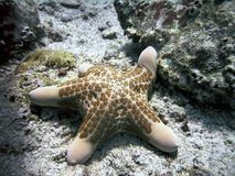 Stelle marine di granulatus di Choriaster Fotografia Stock
