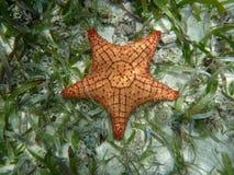 Stelle marine in isola dei Caraibi dell'acqua blu, Panama. L'America Centrale Fotografia Stock