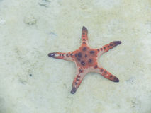 Stelle marine nel mare Fotografia Stock