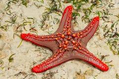 Stelle marine rosse Fotografie Stock Libere da Diritti