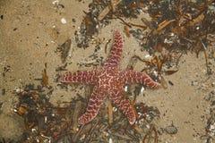 Stelle marine rosse Fotografie Stock
