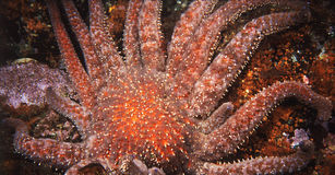 Stelle marine rosse giganti Fotografie Stock