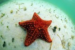 Stelle marine rosse in oceano Fotografia Stock Libera da Diritti