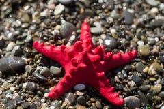 Stelle marine rosse su ghiaia, spiaggia Vita marina Fotografia Stock Libera da Diritti