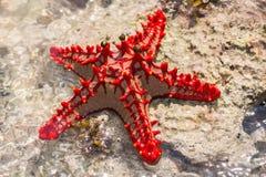 Stelle marine rosse sulla roccia Immagini Stock