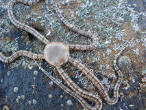 Stelle marine Seastar della stella fragile Fotografia Stock Libera da Diritti