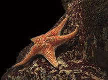 Stelle marine sotto acqua Fotografia Stock