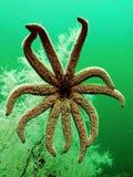 Stelle marine sotto acqua davanti a corallo nero fotografia stock