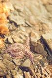 Stelle marine in spuma del mare Immagini Stock