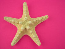 Stelle marine sul colore rosa immagine stock