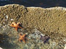 Stelle marine sulla roccia Fotografia Stock