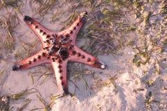 Stelle marine viventi sulla sabbia Fotografie Stock