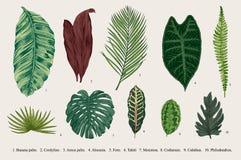 Stellen Sie Blatt ein exotics Botanische Illustration des Weinlesevektors lizenzfreie abbildung