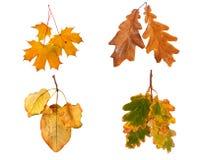 Stellen Sie die Herbstahornniederlassung mit den Blättern ein, die auf Hintergrund lokalisiert werden Lizenzfreies Stockfoto