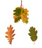 Stellen Sie getrocknete Herbsteichenblätter lokalisiert auf Hintergrund ein Stockfoto