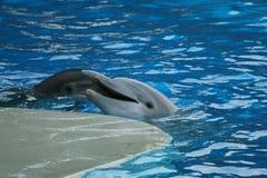 Stellen Sie mit Delphinen dar Lizenzfreie Stockbilder