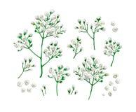 Stellen Sie Sammlung Gypsophilablumen in der Aquarellart lokalisiert auf weißem Hintergrund ein Stockbild