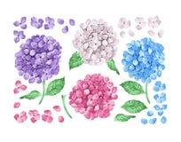 Stellen Sie Sammlung lila Hortensieblumen, Blätter, die Blumenblätter ein, die auf weißem Hintergrund lokalisiert werden Abbildun Lizenzfreie Stockfotos