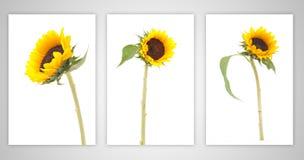 Stellen Sie Sonnenblume auf getrennt ein lizenzfreie stockfotos