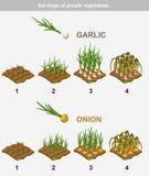 Stellen Sie Stadium des Wachstumsgemüses ein Garlik und Zwiebel Lizenzfreies Stockbild