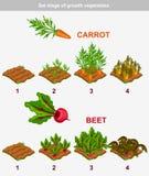 Stellen Sie Stadium des Wachstumsgemüses ein Karotte und rote Rübe Stockfotografie