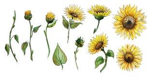 Stellen Sie von den Elementblumen, Knospen ein, Stiele von den lokalisierten Grafiken eines Sonnenblumenaquarells stock abbildung