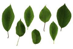 Stellen Sie von den grünen Blättern von den Obstbäumen ein, die auf weißem Hintergrund lokalisiert werden lizenzfreie stockbilder