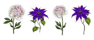 Stellen Sie von den hellen Gartenblumen die Klematis und Pfingstrose ein, die auf weißem Hintergrund lokalisiert werden Hand geze lizenzfreie stockfotografie