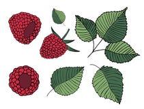 Stellen Sie von den Illustrationen von Himbeeren und von Blättern ein, lokalisiert auf weißem Hintergrund vektor abbildung
