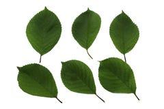 Stellen Sie von sechs grünen Blättern Kirsche lokalisiert auf weißem Hintergrund ein lizenzfreie stockfotos