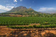 Stellenbosch American Express Wine Routes, South Africa. View across vineyards of the Stellenbosch district with the Simonsberg mountain in the background Stock Image